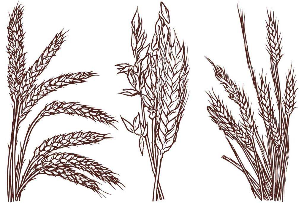 grains illustrated for the bottle label of the still austin bourbon whiskey